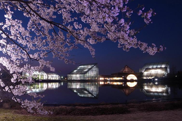 富山中央植物園 春と秋の桜 (15)